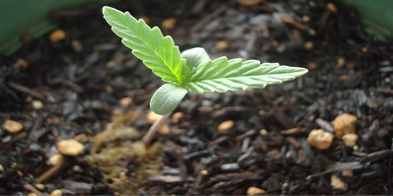How long does it take to grow cannabis indoors using grow tents?